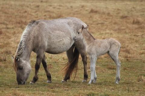 zondag 3 november om 13.00 uur een wandeling met als thema de Konikpaarden bij de Ennemaborg Promotie Noord